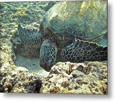 Feeding Sea Turtle Metal Print by Michael Peychich