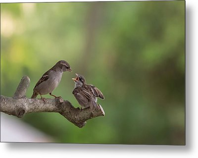 Feeding Time House Sparrows Metal Print by Terry DeLuco