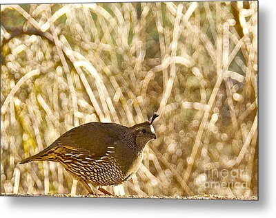 Female California Quail Metal Print