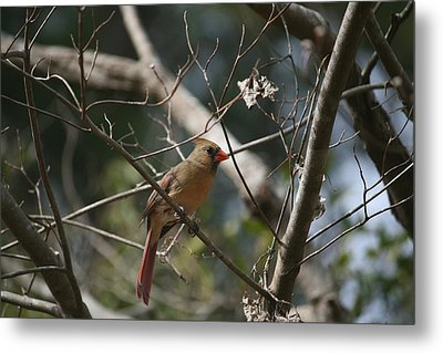 Female Cardinal 3 Metal Print