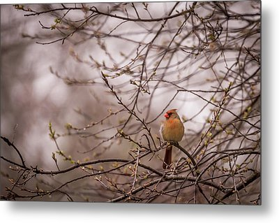 Metal Print featuring the photograph Female Cardinal In Spring 2017 by Terry DeLuco