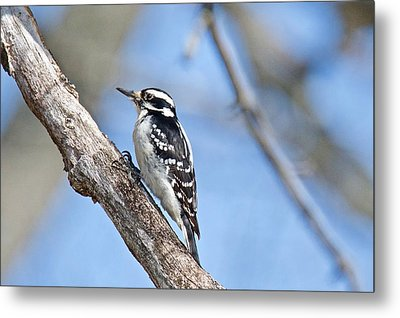 Metal Print featuring the photograph Female Downey Woodpecker 1104  by Michael Peychich