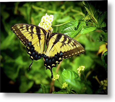 Female Eastern Tiger Swallowtail  Metal Print