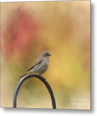 Female Finch Metal Print by Kathleen Rinker