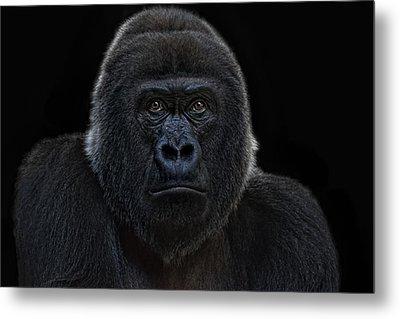 Female Gorilla Metal Print by Joachim G Pinkawa