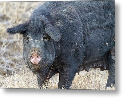Metal Print featuring the photograph Female Hog by James BO Insogna