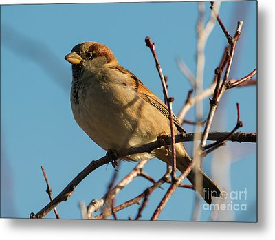 Female House Sparrow Metal Print by Mike Dawson