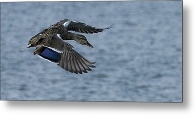 Female Mallard Flying Metal Print