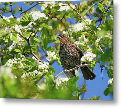Female Red-winged Blackbird Metal Print by Tony Beck