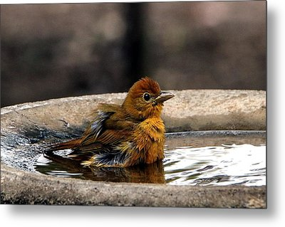 Female Summer Tanager In Bird Bath Metal Print