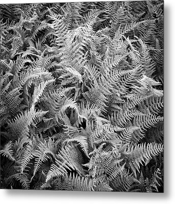 Ferns In Black And White Metal Print by Daniel J. Grenier