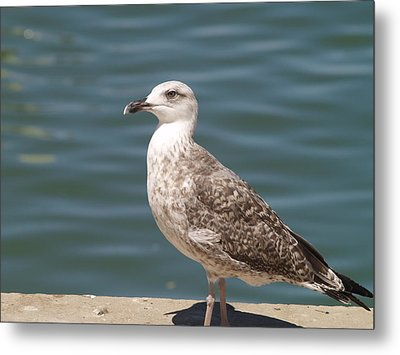 Metal Print featuring the photograph Ferragudo Gull by Michael Canning