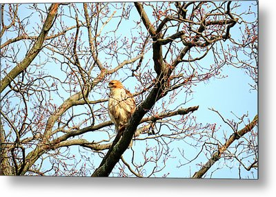 Copper's Hawk Juvenile Metal Print by Charline Xia