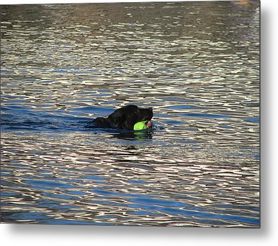 Fetch  Swimming 2 Metal Print by Hasani Blue
