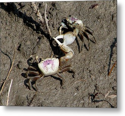 Fiddler Crabs Fighting 2 Metal Print