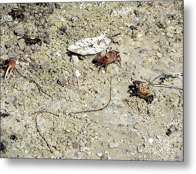 Metal Print featuring the photograph Fiddler Crabs by Terri Mills