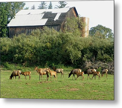Metal Print featuring the photograph Field Of Elk by Jeanette Oberholtzer