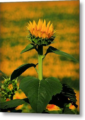 Metal Print featuring the photograph Field Of Gold by Chris Berry