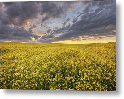 Metal Print featuring the photograph Field Of Gold by Dan Jurak