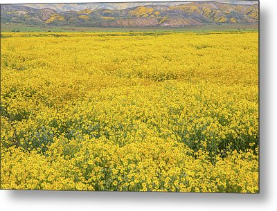 Metal Print featuring the photograph Field Of Goldfields by Marc Crumpler