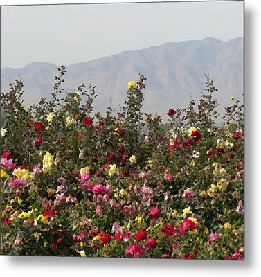 Metal Print featuring the photograph Field Of Roses by Laurel Powell
