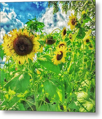 Field Of The Suns  Metal Print