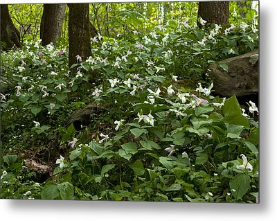 Metal Print featuring the photograph Field Of Trillium 2833 by Peter Skiba