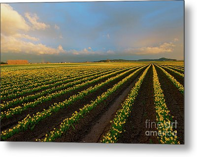 Metal Print featuring the photograph Fields Of Yellow by Mike Dawson