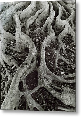 Fig Tree Roots Metal Print by John Gilroy