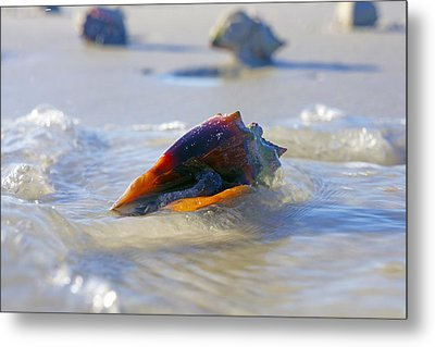 Fighting Conch On Beach Metal Print by Robb Stan