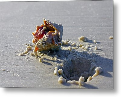 Fighting Conch On The Beach Metal Print by Robb Stan