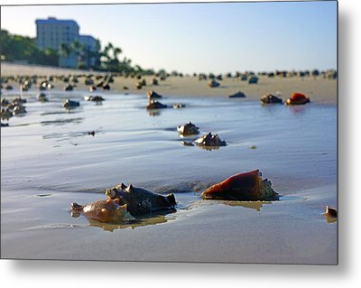 Fighting Conchs On The Beach In Naples, Fl Metal Print by Robb Stan