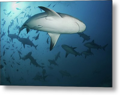 Fiji Sharks Metal Print by Nature, underwater and art photos. www.Narchuk.com