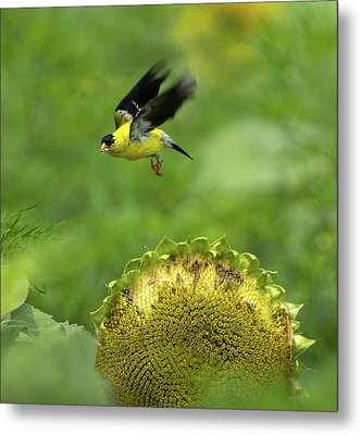 Finch Flight Metal Print