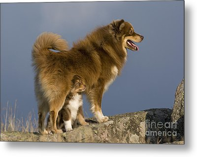 Finnish Lapphund And Pup Metal Print by Jean-Louis Klein & Marie-Luce Hubert