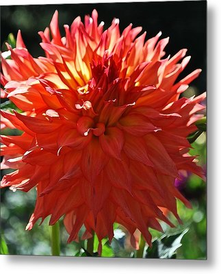 Fire It Up Dahlia  Metal Print