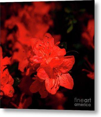 Fire Red Azaleas Metal Print by Tamyra Ayles