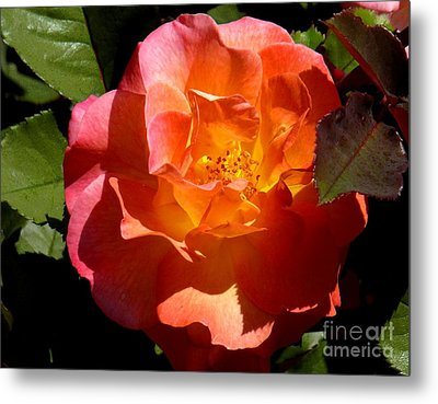 Fire Rose Metal Print by Terri Thompson