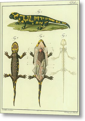 Fire Salamander Anatomy Metal Print