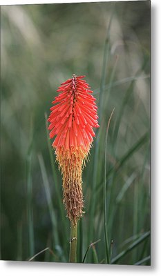 Metal Print featuring the photograph Firecracker by David Chandler