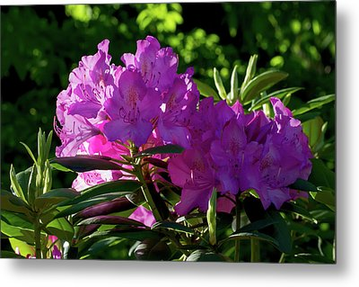 First Light On The Rhododendrons Metal Print by John Haldane
