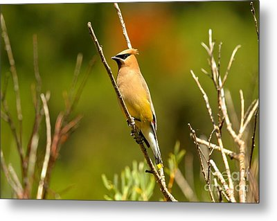 Fishercap Cedar Waxwing Metal Print by Adam Jewell