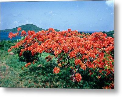 Flamboyan Tree In Bloom Culebra Puerto Rico Metal Print by George Oze