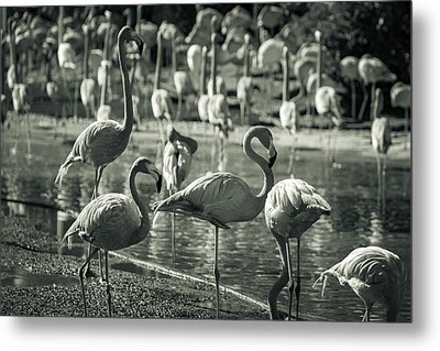Flamboyance Of Flamingos Metal Print by Jason Moynihan