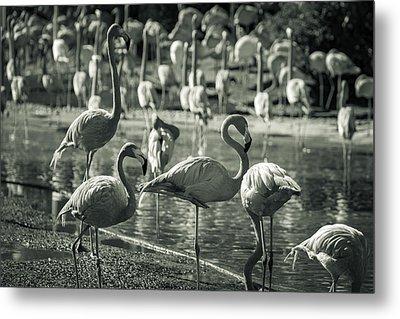 Flamboyance Of Flamingos Metal Print