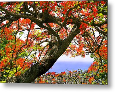 Flamboyant Trees- St Lucia Metal Print by Chester Williams