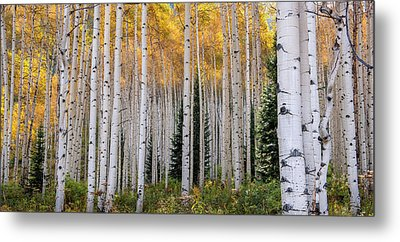 Flaming Aspens - Crested Butte Colorado Metal Print