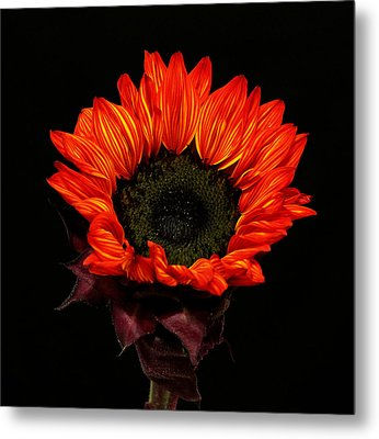 Metal Print featuring the photograph Flaming Flower by Judy Vincent