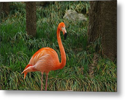 Metal Print featuring the photograph Flamingo 1 by Robyn Stacey