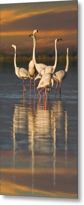 Flamingo Dance Metal Print by Basie Van Zyl